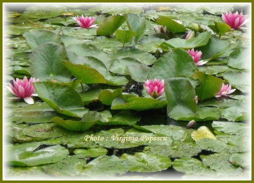 the-lotuses